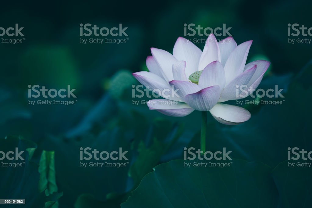 View of beautiful pink lotus flower with green leaves in pond zbiór zdjęć royalty-free