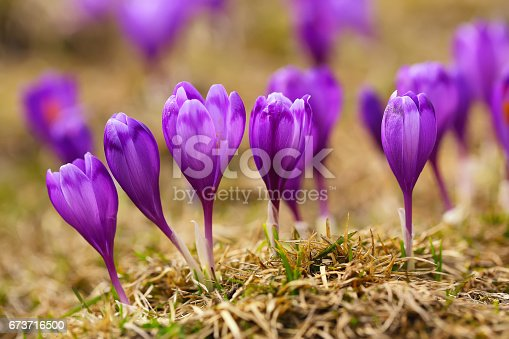 639394370 istock photo View of blooming spring flowers crocus 673716500