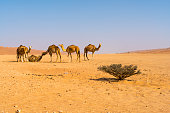 View of camels on desert in sunny day, Oman