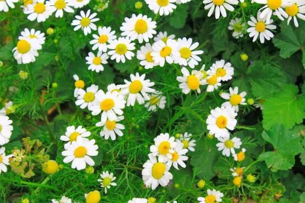 Vue des fleurs de camomille dans un domaine - Photo