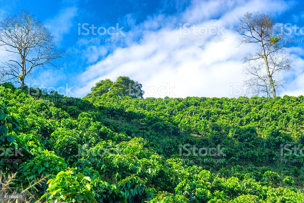 View of Coffee Plants stock photo