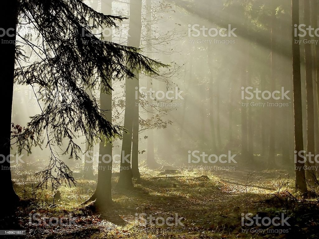 View of coniferous forest at dawn with light shining through royalty-free stock photo