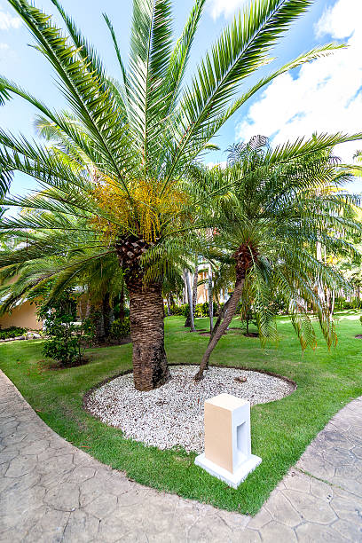 View of date palms close-up on a green lawn.