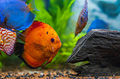 The oscar (Astronotus ocellatus) is a species of fish from the cichlid family known under a variety of common names, including tiger oscar, velvet cichlid