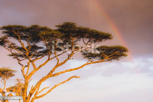 istock View of dramatic pink sunset with a rainbow in African Savannah during safari trip 1307559699