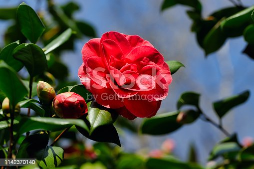 View of flowering Camellia Japonica tree branch in the spirng garden. Macro photography of nature.