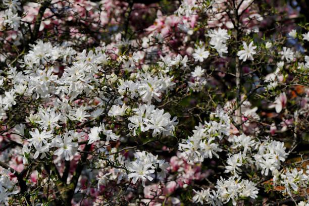 Blick auf blühende weiße Sternsterne stellata Magnolienbaum im Frühlingsgarten – Foto