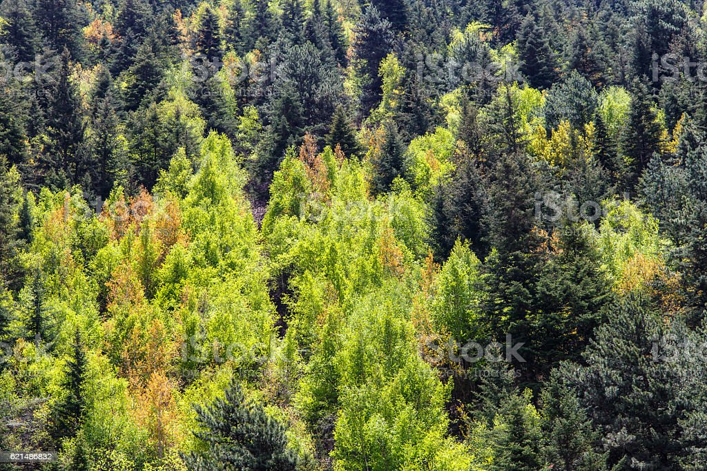 View of forrest of green pine trees on mountainside photo libre de droits
