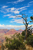 View of Grand Canyon in USA with very blue sky and framed by dead tree with dramatic branches - selective focus