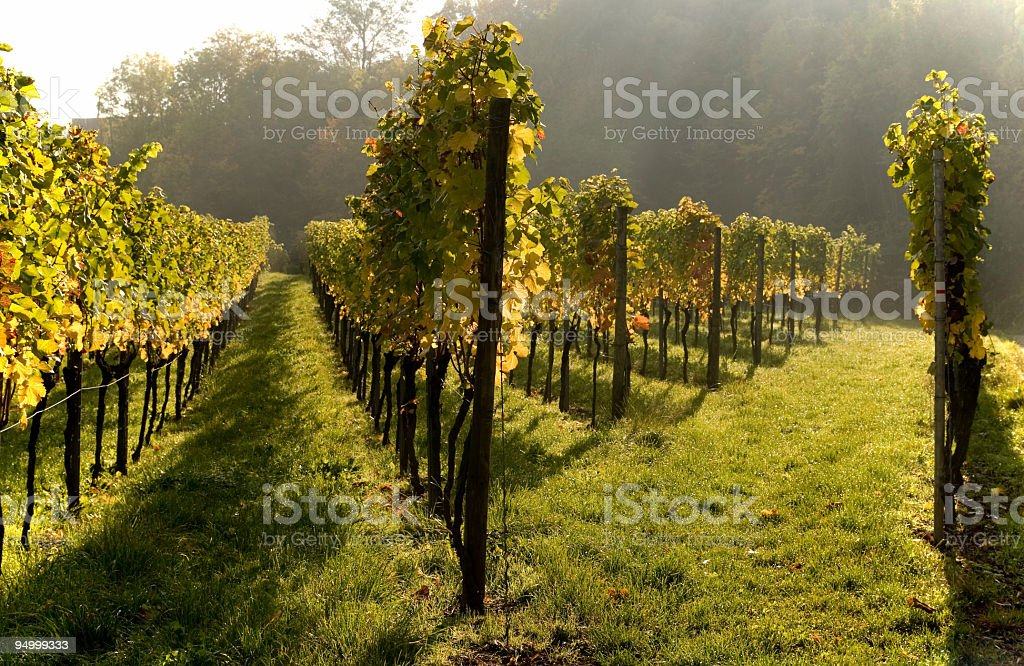 View of grapevine aisles in vineyard in Autumn stock photo