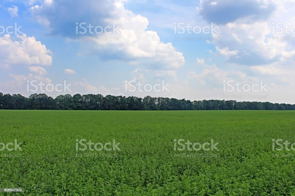 View of green lucerne field under blue sky stock photo