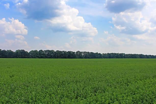 view of green lucerne field under blue sky - erba medica foto e immagini stock