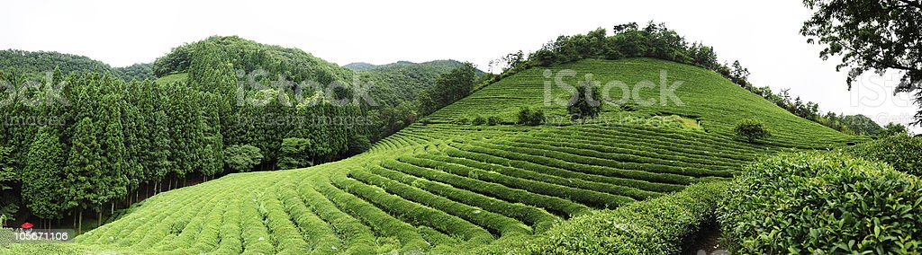 View of green tea farm on hill and forest royalty-free stock photo