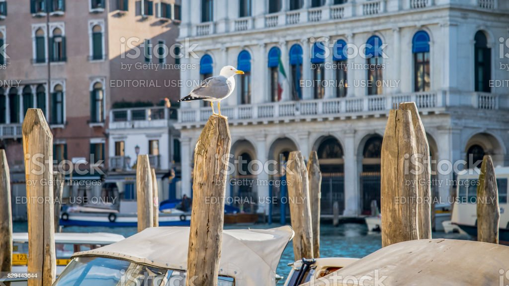 View of gull on wooden stump with architecture on background in Venice, Italy stock photo