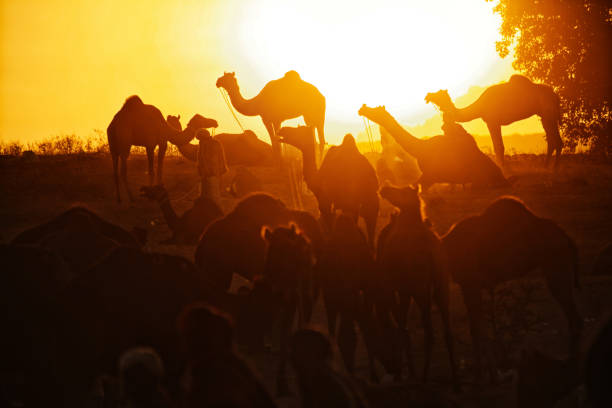 A view of Herd of cmaels at Sunrise stock photo
