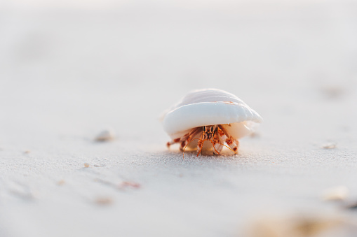 He carries a heavy shell as he walks along the Indo-Pacific Ocean