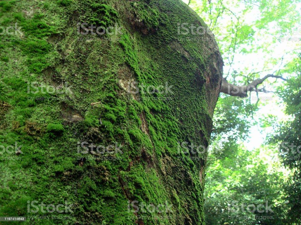 下の角度からの巨大な木の眺め。 - エコツーリズムのロイヤリティフリーストックフォト