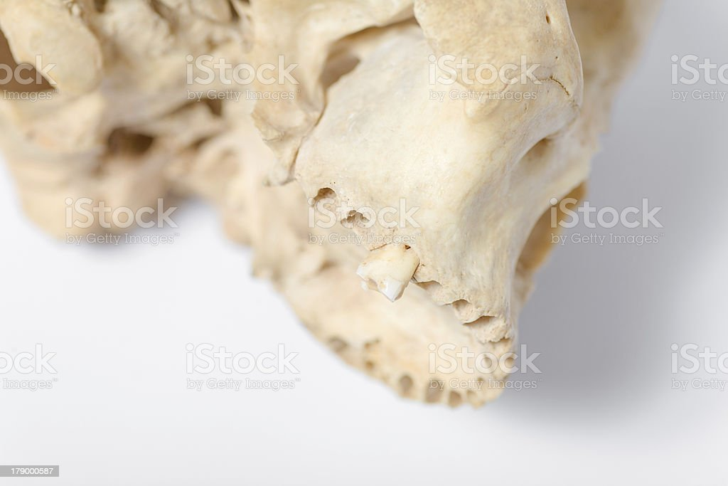 view of human skull jaw royalty-free stock photo