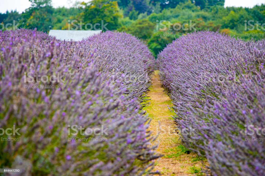 View of Lavender at the Mayfield Lavender farm royalty-free stock photo