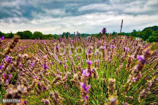 View of Lavender at the Mayfield Lavender farm at Banstead in the lovely North Surrey Downs