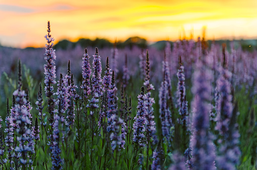 Close-up of lavender flowers blooming in field