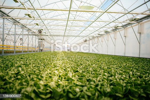 View of green, fresh lettuce plantation in greenhouse