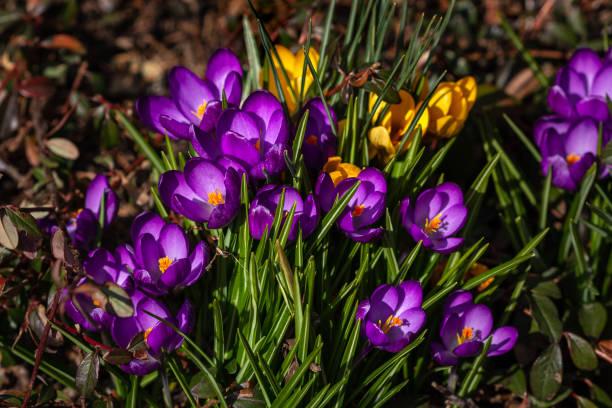 Blick auf lila und gelbe Krokusblüten auf der Frühlingswiese – Foto