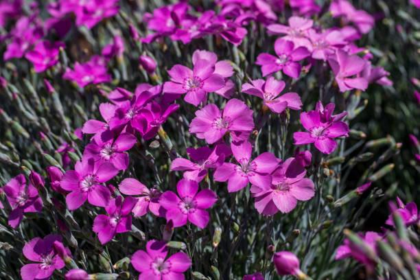 Blick auf die Lilac-Nelkenblumen im Sommergarten – Foto