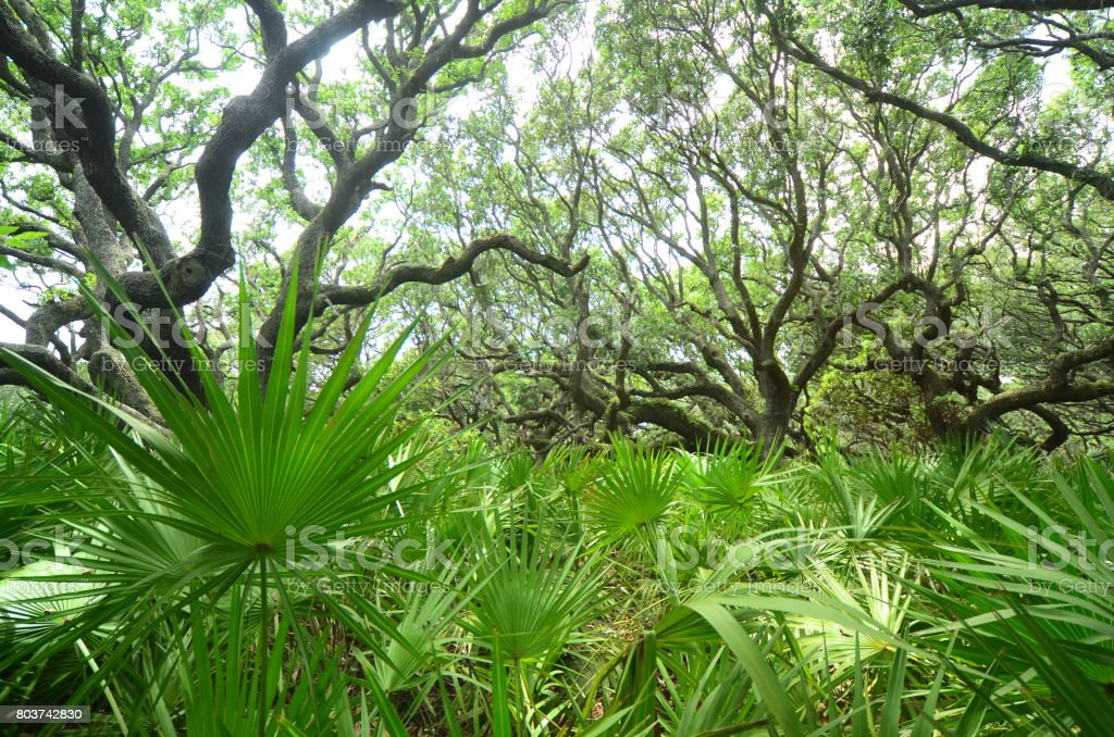 View of Live Oak forest through dense Saw Palmetto understory stock photo