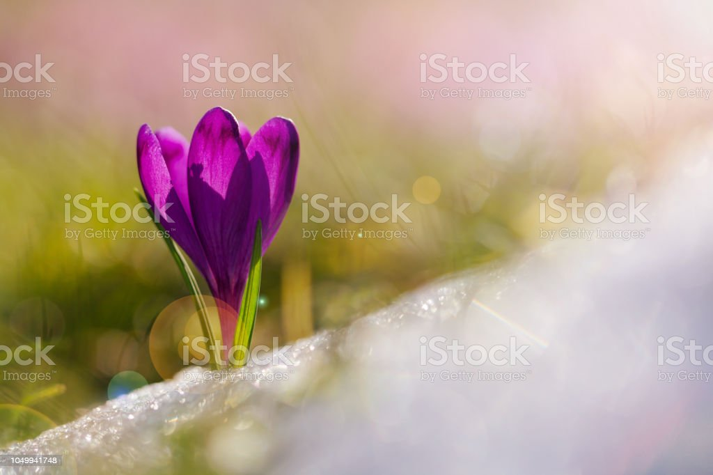 View of magic blooming spring flowers crocus growing from snow in wildlife. Amazing sunlight on spring flower crocus.Beautiful nature. View of magic blooming spring flowers crocus growing from snow in wildlife. Amazing sunlight on spring flower crocus.Beautiful nature. Awe Stock Photo