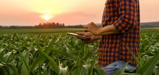 옥수수 밭에 남자의 보기 - 농업 뉴스 사진 이미지