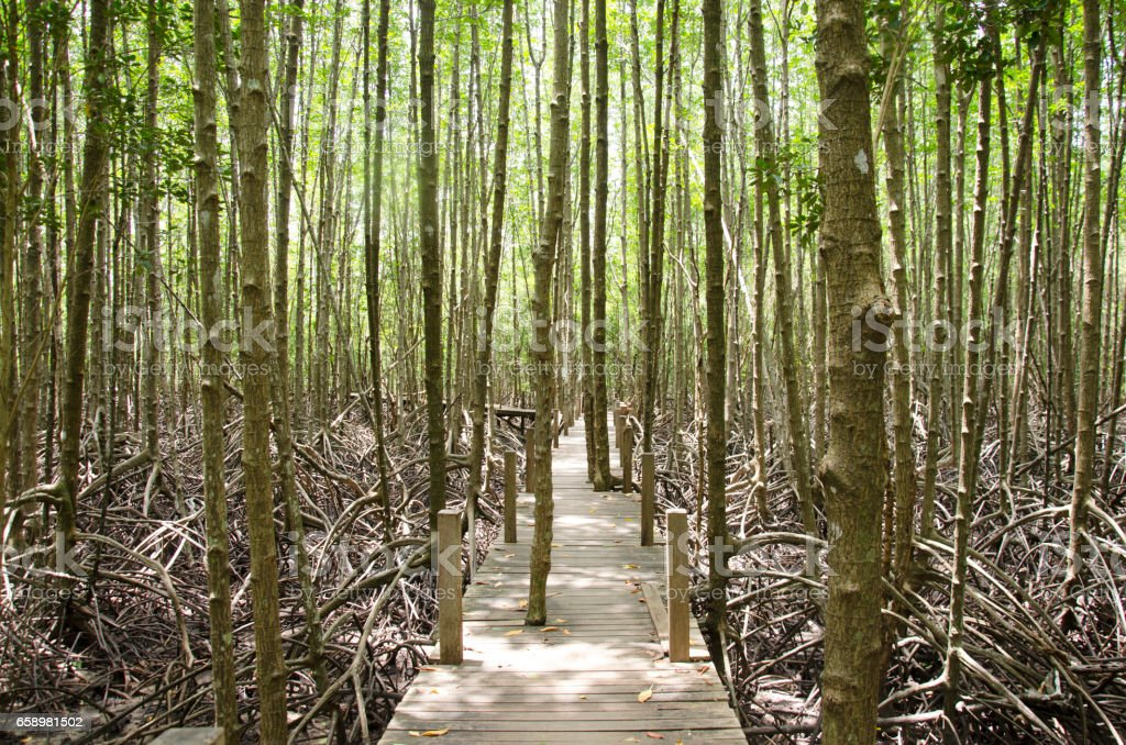 View of Mangrove forest or Intertidal forest at the estuary royalty-free stock photo
