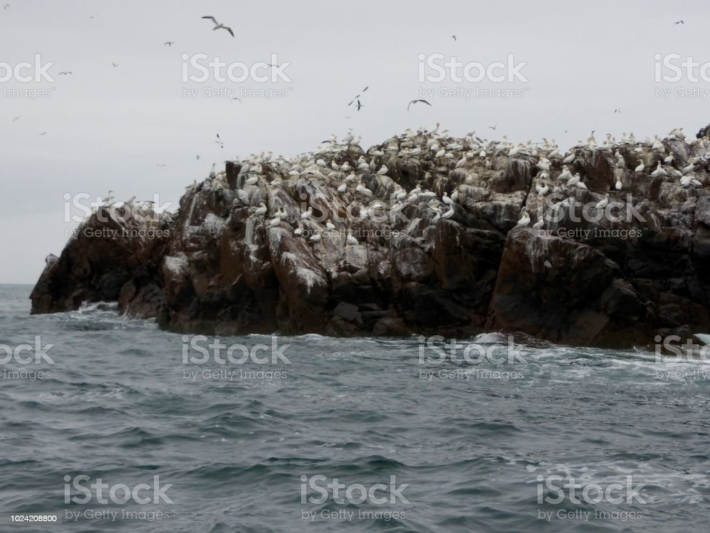 Group of adult Northern Gannets and young birds on Bass Rock in the...