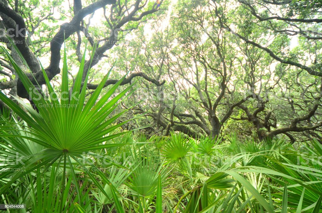 View of  maritime oak forest through dense Saw Palmetto understory stock photo