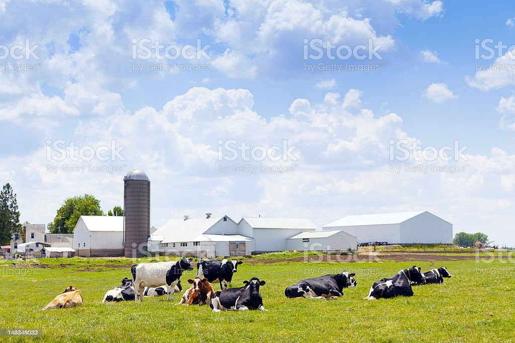 View of milk farm with cows on the green grass stock photo