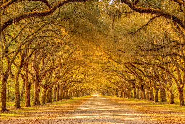 View of old oak trees with spanish moss forming an alley in Savannah, Georgia stock photo