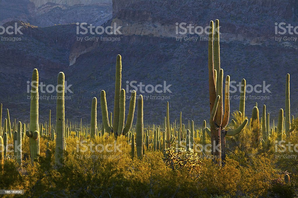 View of organ pipe cactus field royalty-free stock photo