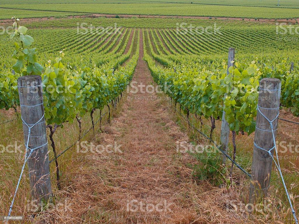 View of organic vineyard stock photo