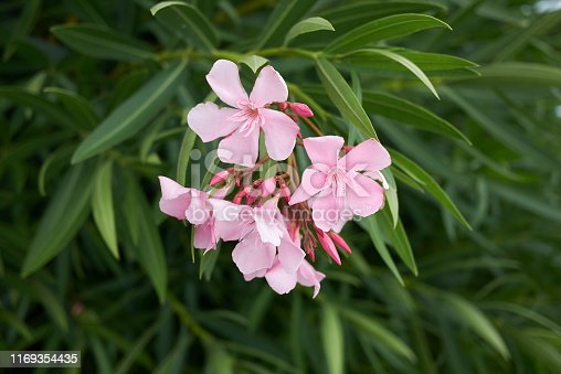 View of pink oleander inflorescence