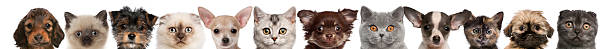 view of puppy and kitten heads isolated on white - row of heads stock photos and pictures