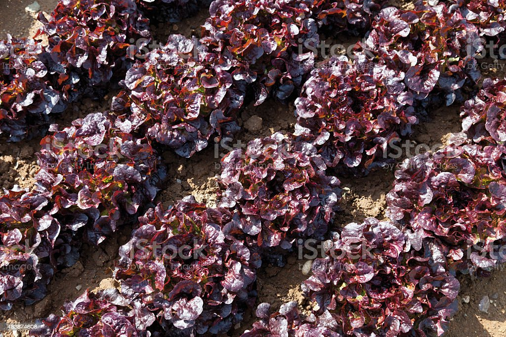 View of red Batavia lettuce cultivation - Photo