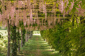 Garden tunnel with lilac flowers lane, from public park in Rome, Italy