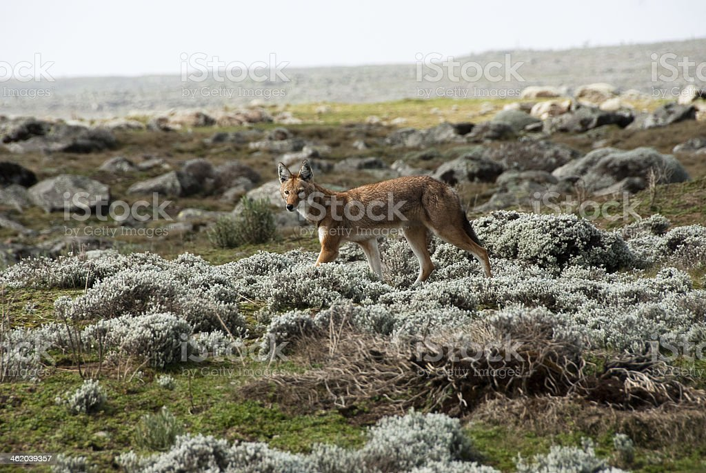 View of Simien wolf in the Ethiopian Highlands  stock photo
