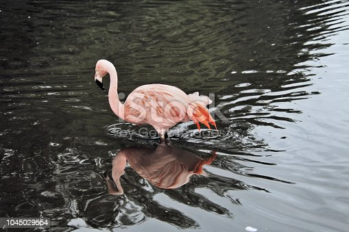 istock A view of some Flamingo's at Martin Mere 1045029554