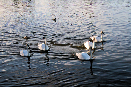 A view of some Mute Swans at Ellesmere Lake in Shropshire