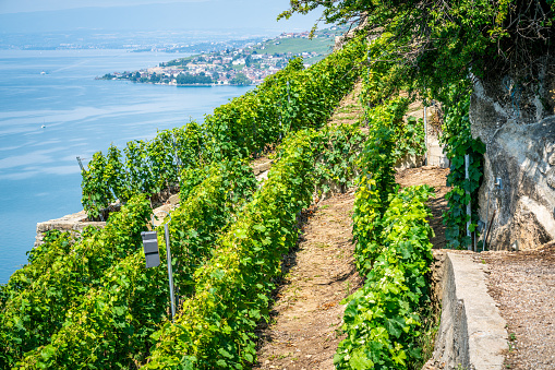 View of steep Lavaux terraced vineyards over Geneva lake in Dezaley Lavaux Vaud Switzerland