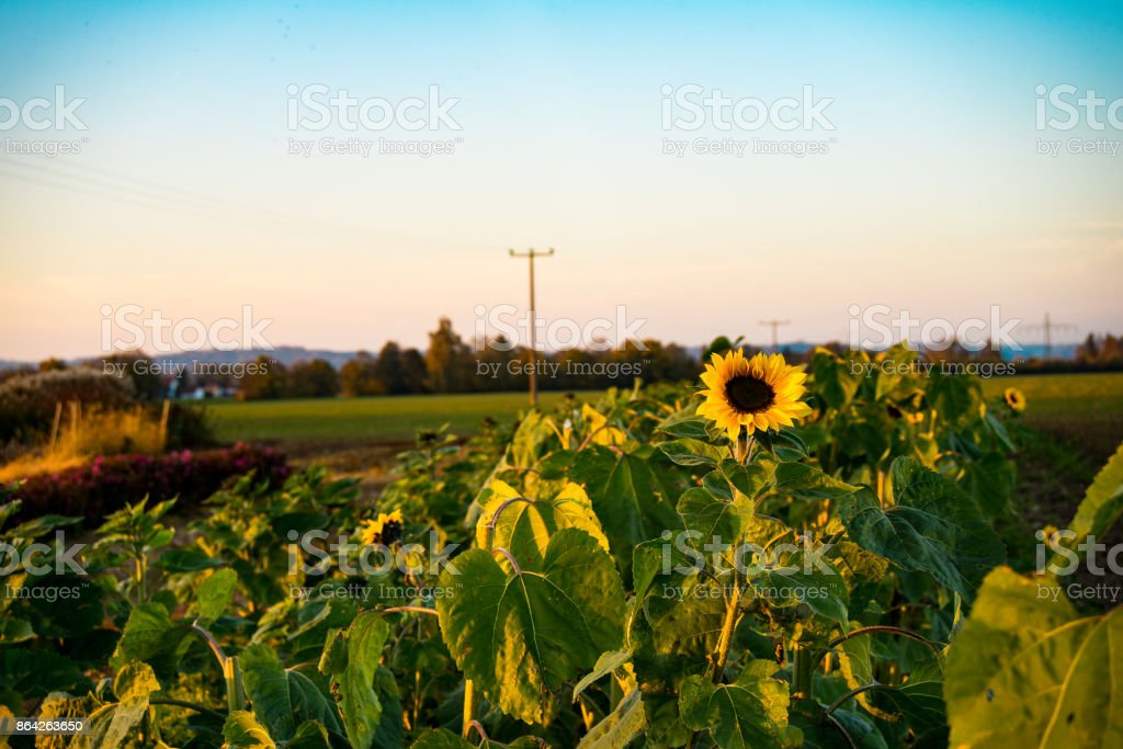 View of sunflowers in a field at sunset royalty-free stock photo
