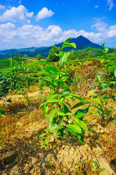 Blick auf die Teeplantage in Kundasang, Sabah – Foto