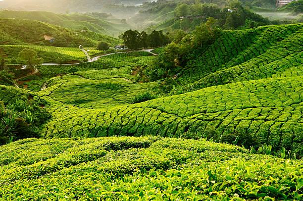 Blick auf Teeplantage in Morgen. Geringe Tiefenschärfe – Foto