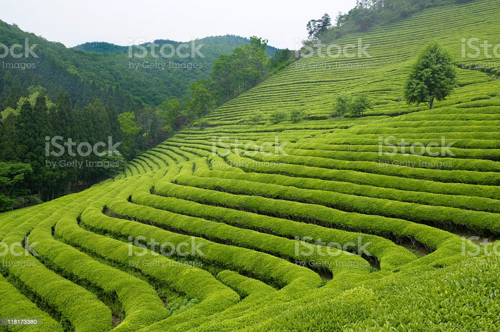 View of tea plantation on rolling hillside royalty-free stock photo